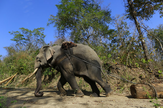 An elephant pulls a teak log in a logging camp in Pinlebu township, Sagaing, northern Myanmar, in this picture taken March 6, 2014. (Photo by Soe Zeya Tun/Reuters)