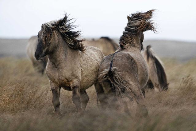 A group of konik horses in nature reserve the De Slufter on Texel, The Netherlands, 04 February 2020. Staatsbosbeheer, the Dutch government organization for Forestry and the management of nature reserves has announced that the stallions will be killed. The animals were transferred from the Oostervaardersveld, where there was insufficient space and food for them. (Photo by Olaf Kraak/EPA/EFE)