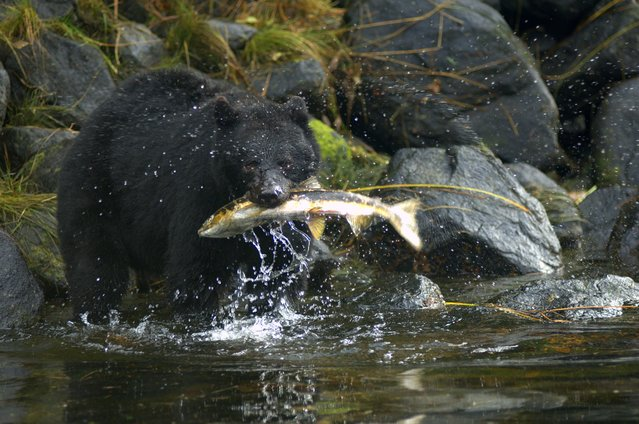 """""""Great Bear Rainforest, B.C."""". John Potvin, 63, of Annapolis, Md., witnessed this bear feasting on the fall salmon run in Haida Gwaii/Queen Charlotte Islands, B.C., in September 2014. (Photo by John Potvin)"""