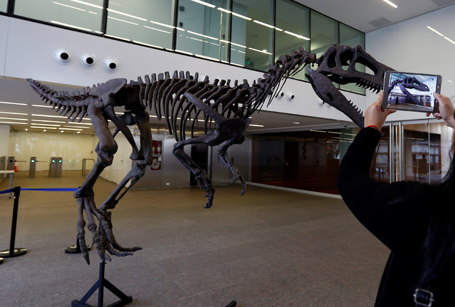 """A woman takes photos of a replica of a newly discovered meat-eating dinosaur that prowled Argentina 90 million years ago, in Buenos Aires, July, 13, 2016. The dinosaur, dubbed """"Gualicho"""" in honour of a Patagonian aboriginal goddess, was unearthed in 2007 near the town of El Choco in Argentina's central Rio Negro province, which lies at the northern edge of Patagonia. Analysis of the fossils did not begin until 2012. The dinosaur appears to be related to Deltadromeus dinosaurs, which lived in Africa in the Cretaceous era. But its two-fingered arms looked more like those of a Tyrannosaurus. (Photo by Enrique Marcarian/Reuters)"""