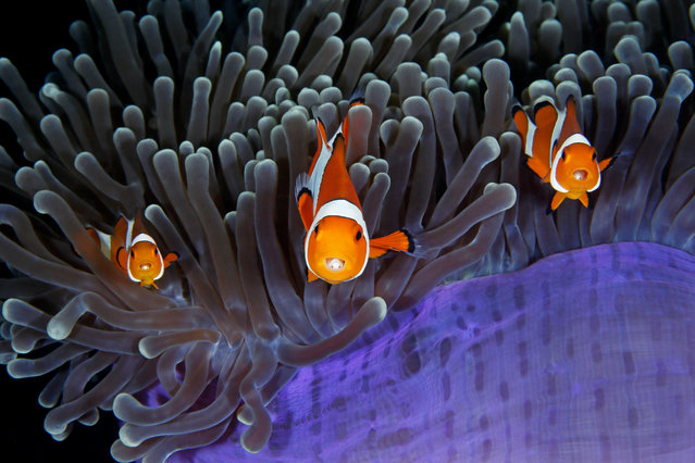 The insiders by Qing Lin (China). Each anemone fish has an extra pair of eyes inside its mouth – those of a parasitic isopod which enters as a larva via the fish's gills, moves to its mouth and attaches its legs to the base of the tongue. Finalist 2017, Under Water. (Photo by  Qing Lin/2017 Wildlife Photographer of the Year)
