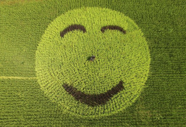"""A picture of smiling face made of rice plants is seen at a paddy field in Xianju county, Zhejiang province, August 27, 2015. The """"face"""" was made to attract tourists, according to local media. (Photo by Reuters/Stringer)"""