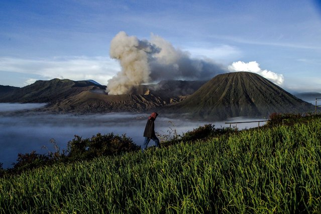 A man walks at a field as Mount Bromo (background) spews ashes into the air during a volcanic eruption ahead of the Hindus Kasada ceremony in Probolinggo, East Java, Indonesia, 20 July 2016. The Kasada ceremony, which will be held on 21 July, is a way for Tengger Hindus to express their gratitude to the Gods for good harvest and fortune that was bestowed on them. The peak of the annual Kasada ceremony as per tradition sees worshippers climbing Mount Bromo in the early morning and throwing offerings into the volcano's crater. The offerings range from vegetables to chickens, from fruits to goats, from money to other valuables. (Photo by Fully Handoko/EPA)