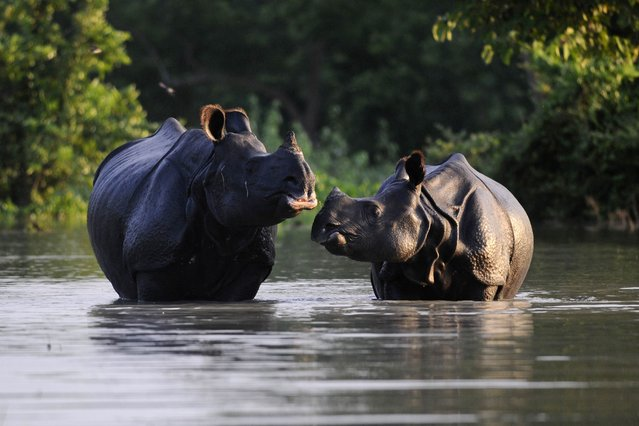 An Indian one-horned rhinoceros and its calf wade through flood waters at a submerged area of the Pobitora wildlife sanctuary in India's northeastern Assam state on August 27, 2014. About 80 percent of the sanctuary is currently under flood waters caused by the overflowing Brahmaputra river. (Photo by Biju Boro/AFP Photo)