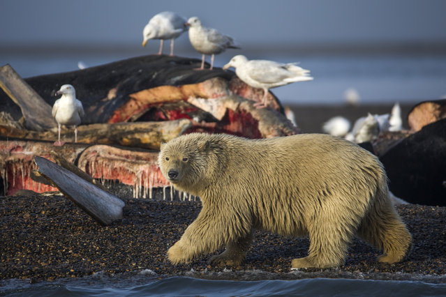 A young polar bear prepares to feast on the remains of a bowhead whale, harvested legally by whalers during their annual subsistence hunt, just outside the Inupiat village of Kaktovik, Alaska, USA, 12 September 2017. (Photo by Jim Lo Scalzo/EPA/EFE)