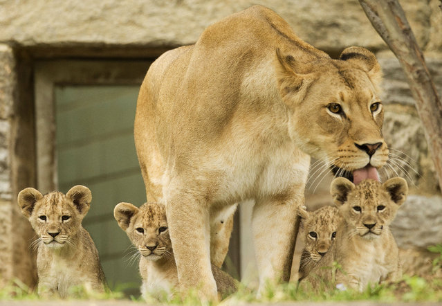 Four-year-old African lion mother Tajiri licks one of her cubs during their debut at the Philadelphia Zoo Friday, September 5, 2014, in Philadelphia. The four cubs were born in late June at the zoo. (Photo by Matt Rourke/AP Photo)