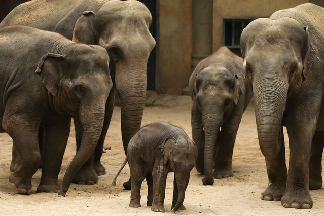 Two months old baby elephant Anjuli stands among family members on September 14, 2015 at the Tierpark Hagenbeck zoo in Hamburg, norhtern Germany. (Photo by Christian Charisius/AFP Photo/DPA)