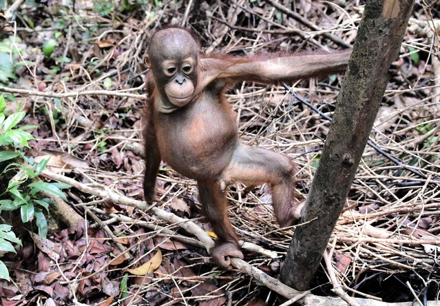 """This picture taken on August 4, 2016 shows an orphan orangutan baby playing whilst attending """"jungle school"""" at the International Animal Rescue centre outside the city of Ketapang in West Kalimantan. (Photo by Bay Ismoyo/AFP Photo)"""
