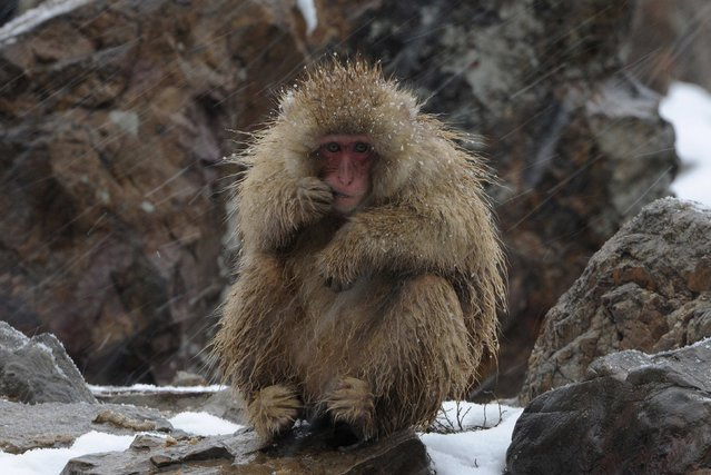 A baby Japanese Macaque, or snow monkey, eats during a snowfall at a wildlife Zoo in Hefei, Anhui province, China, December 26, 2012. A fresh cold snap will hit most parts of China in the coming three days, according to the National Meteorological Center's forecast on Wednesday, Xinhua News Agency reported. (Photo by Reuters/Stringer)