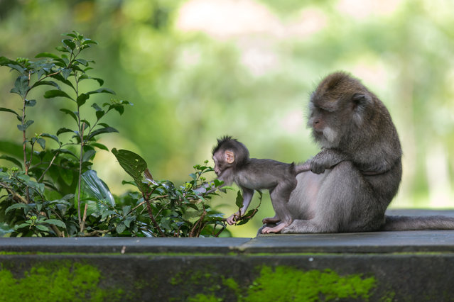 """Mother's care"". Humans or animals - mothers stay mothers. You can nearly hear: ""But mu-u-u-m!!!"" from this baby in Monkeys' Sanctuary. Photo location: Bali, Indonesia. (Photo and caption by Julia Wimmerlin/National Geographic Photo Contest)"