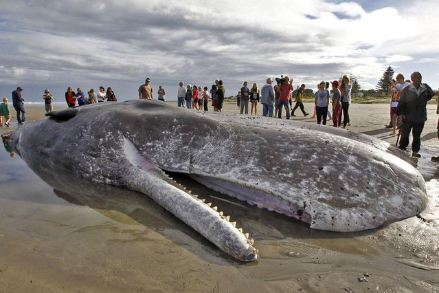 The dead body of a 15 metre sperm whale (C) lies on a Paraparaumu beach on the Kapiti Coast on January 16, 2013. Hundreds of people gathered to see the whale which was washed up on the beach overnight after it died. (Photo by Marty Melville/AFP Photo)