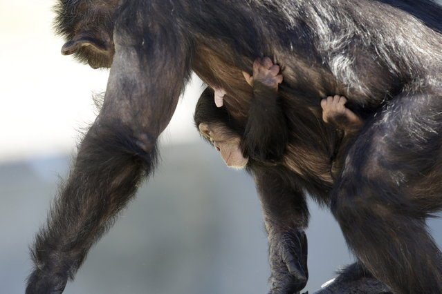 A mother chimp carries her baby at Chimp Haven in Keithville, La., Tuesday, February 19, 2013. One hundred and eleven chimpanzees will be coming from a south Louisiana laboratory to Chimp Haven, the national sanctuary for chimpanzees retired from federal research. (AP Photo/Gerald Herbert)