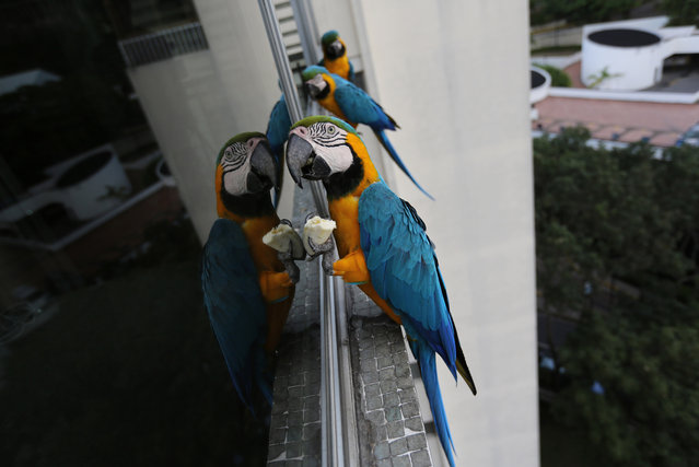 Macaws feed on bananas left for them while they stand on the window ledge of an apartment in Caracas, Venezuela. The city of around 6 million people does not seem welcoming for exotic birds. But the macaws supplement the food they forage with snacks birders leave for them. (Photo by Ariana Cubillos/AP Photo)