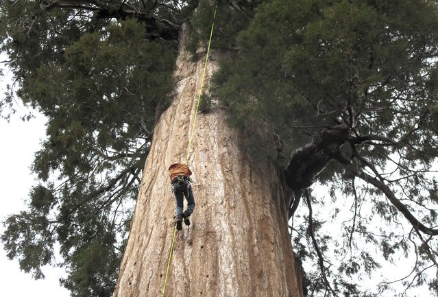 In this May 23, 2016 photo, arborist Jim Clark inches up a giant sequoia to collect new growth from its canopy in the southern Sierra Nevada near Camp Nelson, Calif. Clark volunteers with Archangel Ancient Tree Archive, a nonprofit group that collects genetic samples from ancient trees and clones them in a lab to be planted in the forest. The group believes the giant sequoias and costal redwoods are blessed with some of the heartiest genetics of any trees on earth and that propagating them will help reverse climate change. (Photo by Scott Smith/AP Photo)
