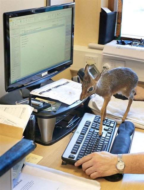 Aluna, a baby Dik-dik, walks across a computer keyboard in the office of Tim Rowlands, curator of mammals at Chester Zoo, in England on March 12, 2013. The miniature antelope which is only 8 inches tall is being hand reared by the Zoo after failing to bond with its mother. (Photo by Phil Noble/Reuters)