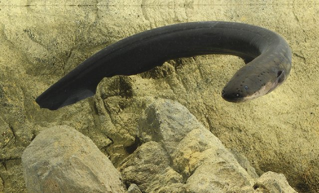 An electric eel (Electrophorus electricus) is pictured in this undated handout photo obtained by Reuters December 4, 2014. Electric eels can unleash a potent electrical jolt to wallop their hapless prey. But this zap is not used merely to stun other fish. (Photo by Kenneth Catania/Reuters)