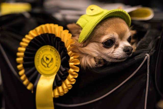 A Long- haired Chihuahua dog wearing a hat is carried in a basket on the second day of the Crufts dog show at the National Exhibition Centre in Birmingham, central England, on March 9, 2018. (Photo by Oli Scarff/AFP Photo)