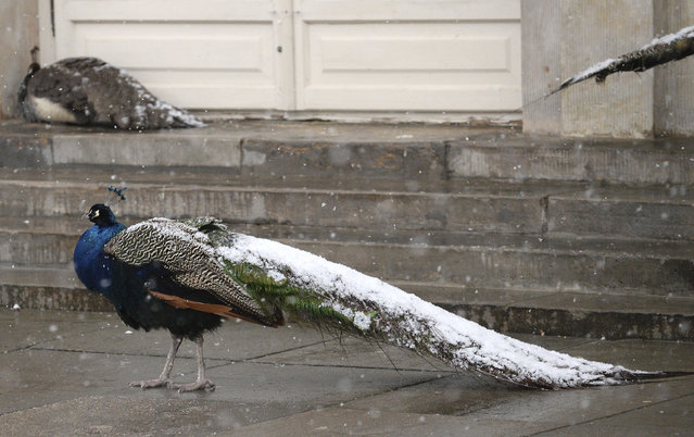 A peacock with its tail covered with snow walks in Lazienki park in Warsaw, Poland, Friday, March 16, 2018, as snow came down in the city in a sudden return of winter weather with the temperature minus 3 degree Celsius (26.6 Fahrenheit). (Photo by Alik Keplicz/AP Photo)