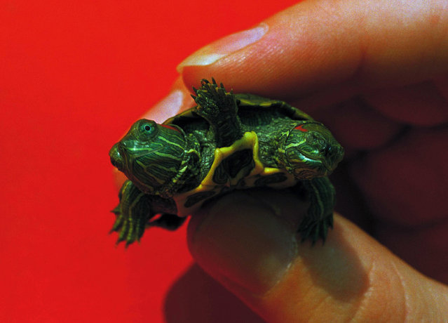 A turtle born with two heads and an extra set of legs between them is held by an employee of a Jenkintown, Pa., pet store on September 22, 1986. The owner of the store said while it was the strangest thing he'd ever seen he had no idea how long it would live. (Photo by Rusty Kennedy/AP Photo)