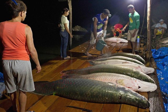 Villagers from the Medio Jurua nature reserve of Brazil's Amazon rainforest arrive with their catch of pirarucu, the largest freshwater fish in South America, after a night of fishing in Manaria Lake, Carauari municipality, September 3, 2012. Catching the pirarucu, a fish that is sought after for its meat and is considered by biologists to be a living fossil, is only allowed once a year by Brazil's environmental protection agency. (Photo by Bruno Kelly/Reuters)