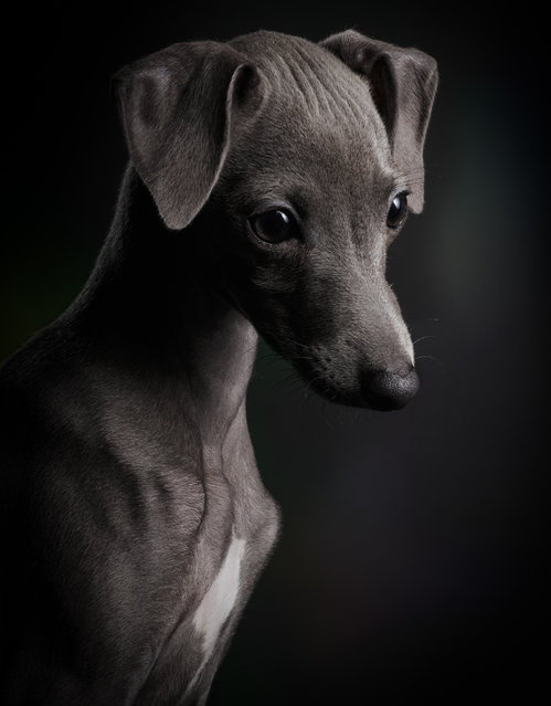 First place, Puppies. Klaus Dyba from Germany took this photograph of Ceylin, a three-month-old Italian greyhound. (Photo by Klaus Dyba/Dog Photographer of the Year 2018)