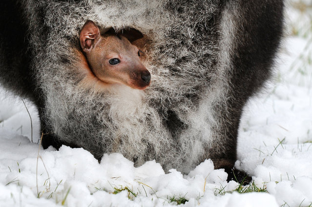 A baby wallaby looks out from its mother's pouch at ZSL Whipsnade Zoo on February 3, 2015 in Bedfordshire, England. South-East UK woke up to snow today with the arrival of Siberian gales bringing sub-zero temperatures. (Photo by Tony Margiocchi/Barcroft Media)