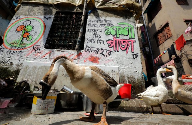 Animals seen in front of a wall graffiti of Trinamool Congress party, ahead of assembly election in Kolkata, India, 18 March 2021. The 2021 West Bengal Legislative Assembly elections are scheduled to be held in 8 phases between 27 March to 29 April 2021. (Photo by Piyal Adhikary/EPA/EFE)