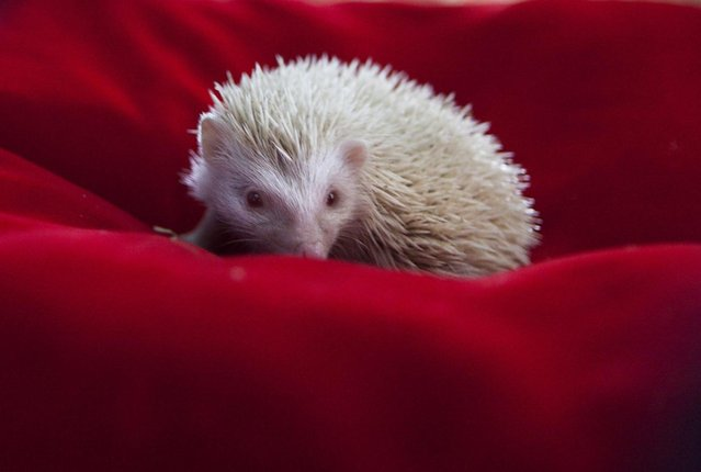 An albino hedgehog baby sits in a plush bed in a private Zoo in Moscow, Russia, Thursday, August 22, 2013. Three rare albino hedgehog babies, born on the same day as Britain's new prince, have moved into a miniature castle at a Moscow petting zoo. The three are named after the Prince of Cambridge – George, Alexander and Louis. On Thursday, when they turned one month old, they were shown their new home at the All-Russia Exhibition Center. (Photo by Alexander Zemlianichenko Jr./AP Photo)