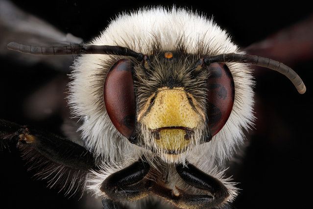 Anthophora bomboides, male, Allegany County, Maryland. (Photo and caption by Sam Droege/USGS Bee Inventory and Monitoring Lab)