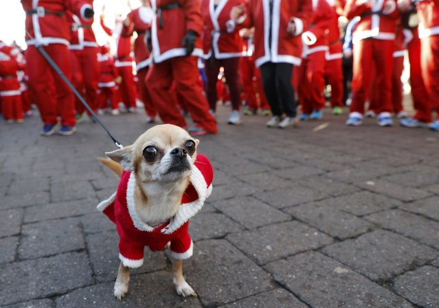 A dog with a Santa hat waits with its owner to start the annual charity Santa run in Loughborough, Britain December 4, 2016. (Photo by Darren Staples/Reuters)