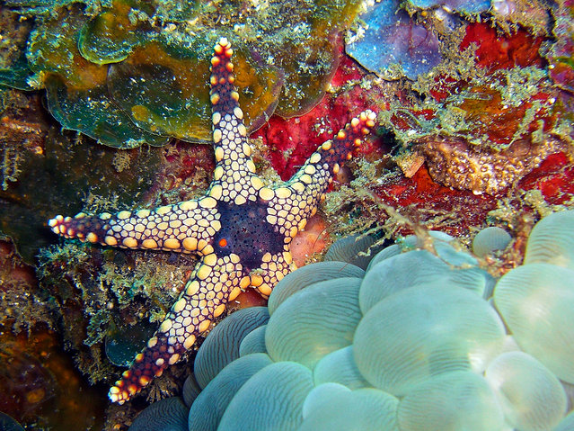 Funky Starfish and Bubble Coral. (Photo by David M. Hogan)