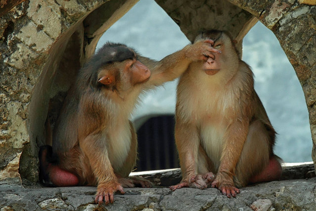 This loved-up monkey has got a funny idea of romance - pinching his date's nose. The besotted Japanese Macaque curiously leant in to tease his mate as the couple monkeyed around on a wall. And she doesn't look too impressed, sticking her tongue out in reply.  Photographer Monica Anantyowati, from Malang, East Java, Indonesia, saw the cheeky pair on a visit to their home at Surabaya Zoo Garden, East Java. (Photo by Monica Anantyowati/Solent News)