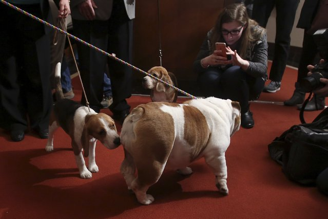 People take pictures of dogs following a press event for the American Kennel Club to reveal the nations most popular dog breeds in the Manhattan borough of New York, February 22, 2016. (Photo by Carlo Allegri/Reuters)