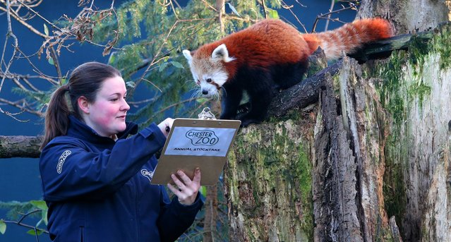 Lucy Edwards lead keeper of Chester Zoo staff, counts the red pandas during an annual stocktake at Chester Zoo, Chester, on January 2, 2013. (Photo by Peter Byrne/PA Wire)