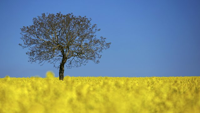 A tree is pictured in a blooming rapeseed field on a spring morning in Vufflens-la-Ville near Lausanne April 23, 2015. (Photo by Denis Balibouse/Reuters)
