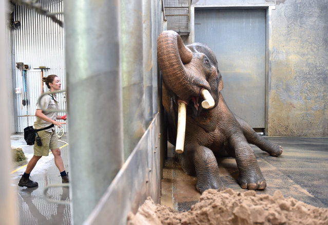 Keeper Lucy Truelson (L) washes Asian elephant bull Bong Su as it lies against the barrier in its enclosure at Melbourne Zoo in Melbourne, Australia, 03 March 2016. According to the zoo, Bong Su, the largest animal in Australia, showed media its morning bath time routine ahead of the World Environment Day. (Photo by Tracey Nearmy/EPA)
