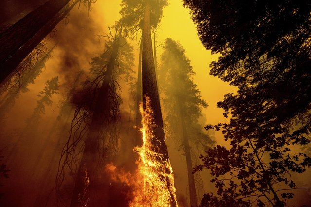 Flames lick up a tree as the Windy Fire burns in the Trail of 100 Giants grove in Sequoia National Forest, Calif., on Sunday, September 19, 2021. (Photo by Noah Berger/AP Photo)