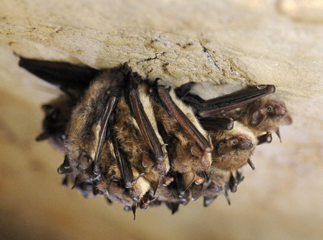 In this December 16, 2011 file photo, a cluster of little brown bats hibernate in New Mammoth Cave near LaFollette, Tenn. A fungal disease that has killed millions of bats has been confirmed in Washington state, the first time white-nose syndrome has turned up in the western United States, federal wildlife officials said Thursday, March 31, 2016. Testing by the U.S. Geological Survey's National Wildlife Health Center verified the disease in a little brown bat found in North Bend, about 30 miles east of Seattle. (Photo by Amy Smotherman Burgess/Knoxville News Sentinel via AP Photo)