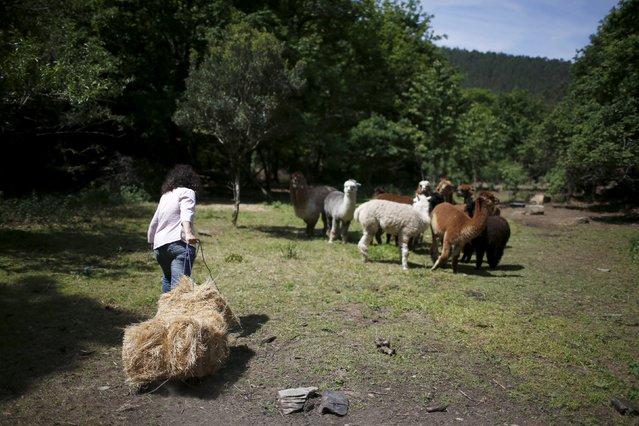 Lisa Vella-Gatt, 46, carries straw for the alpacas at her farm near Benfeita, Portugal May 11, 2015. (Photo by Rafael Marchante/Reuters)