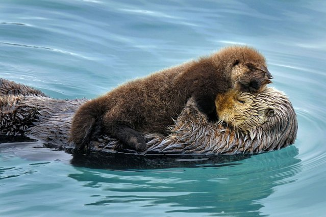 An exhausted sea otter pup taking a rest on its mums belly. (Photo by Tom and Pat Leeson/Ardea Wildlife Pets Environment/Caters News)