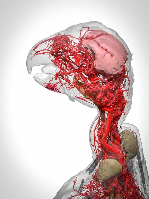 Blood vessels of an African Grey parrot. The 3D reconstruction of an African grey parrot  just after it died shows the intricate system of blood vessels in its head and neck. This was only possible thanks to a special chemical called BriteVu which lets researchers study veins in incredible detail. (Photo by Scott Birch/Scott Echols/Wellcome Images)