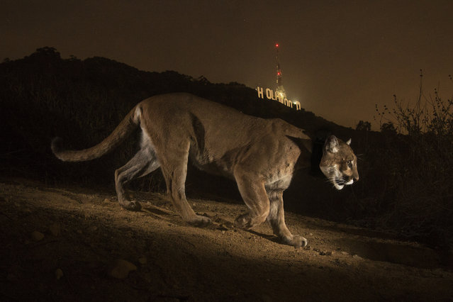 A hidden camera recorded Hollywood's most reclusive star. This male cougar was first seen in Griffith Park in Los Angeles. (Photo by Steve Winter/National Geographic)