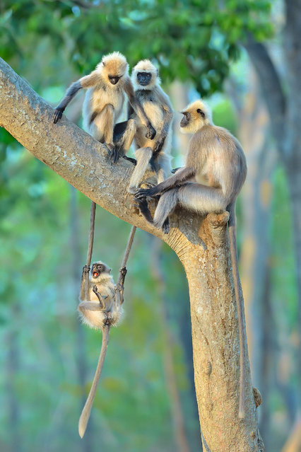 A Little Swinger, India. It's the end of the day and a group of black-footed grey langurs settle into a tree for the night. But this infant has decided it's playtime. Swinging on the tails of two juveniles, he makes a characteristic play face. His mother takes little notice, and the adolescents tolerate his acrobatics. Langurs are very social and youngsters play as often as they can, which helps develop bone and muscle, and also develops social bonds and communication skills. (Photo by Thomas Vijayan/Unforgettable Behaviour/NHM)