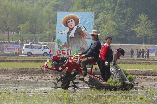 Farmers transplant rice seedlings in a field in Chongsan-ri, Kangso district, Nampho, North Korea, Sunday, May 12, 2019. (Photo by Cha Song Ho/AP Photo)