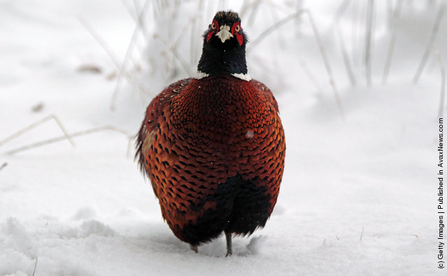A pheasant stands in snow near Dulverton