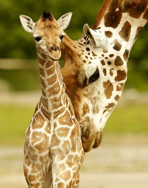 Sanyu (L), a five-day old Rothschild's Giraffe calf is nuzzled by another member of the herd in their enclosure at Chester Zoo, in Chester, Britain, in this June 12, 2015 file photo. (Photo by Phil Noble/Reuters)