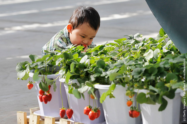 A little boy eats fresh strawberries at the 7th International Strawberry Symposium in Beijing