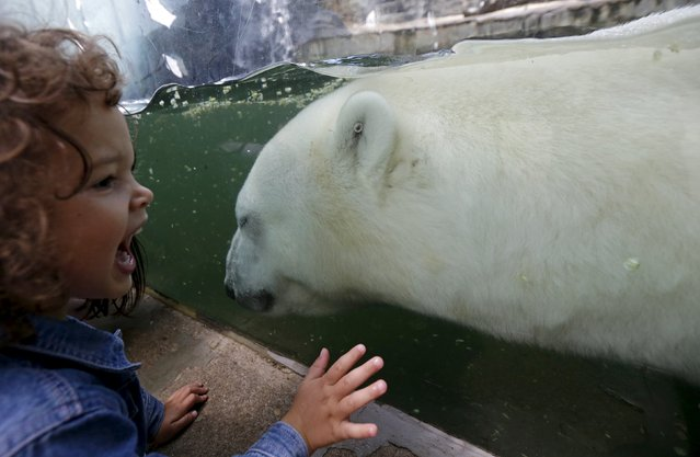 A child looks at a polar bear swimming under a water in its enclosure on a hot summer day at Prague Zoo, Czech Republic, July 30, 2015. (Photo by David W. Cerny/Reuters)