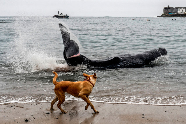 A dog looks at a five-meter-long sperm whale stranded at San Bartolo beach, in Lima, on August 20, 2019. Surfers and policemen saved Tuesday an injured whale which remained stranded some hours at a beach in southern Lima, police informed. (Photo by Ernesto Benavides/AFP Photo)
