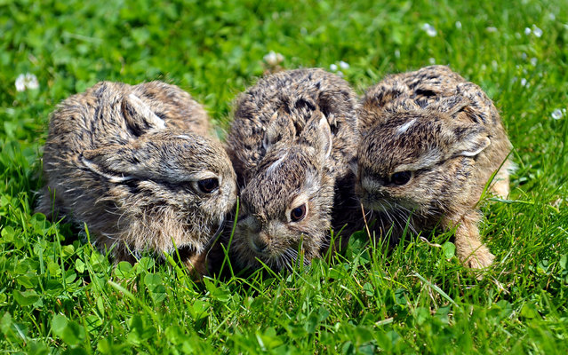 Baby hares sit on a field at the Dzika Ostoja Animal Foundation in Szczecin, Poland, 09 July 2017. Four leverets were found in a trash bag and will be bottle-fed for five weeks before being released again. (Photo by Marcin Bielecki/EPA)